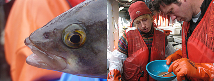 Researchers studying Atka mackerel.