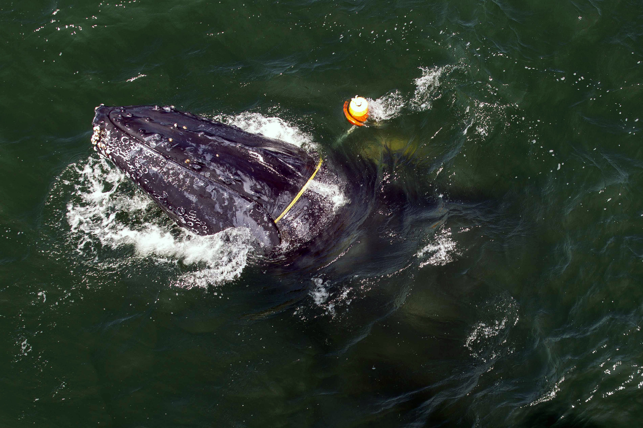 Disentanglement teams freed this whale in July 2017. Photo credit: Bryant Anderson/NOAA Fisheries, MMHSRP Permit#18786-01.