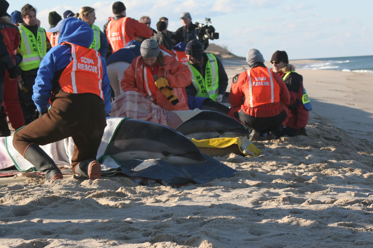 Responders assess a group of white-sided dolphins during a mass stranding event. Photo courtesy of International Fund for Animal Welfare.