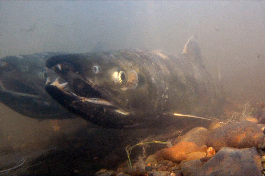 Chum salmon swimming near a rocky bottom