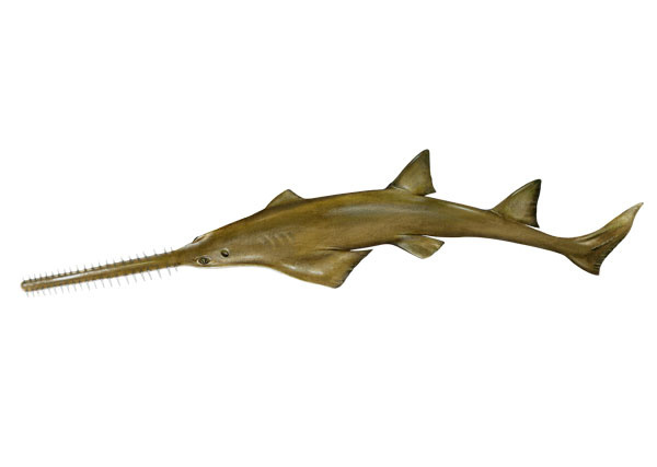 Image result for caribbean sawfish