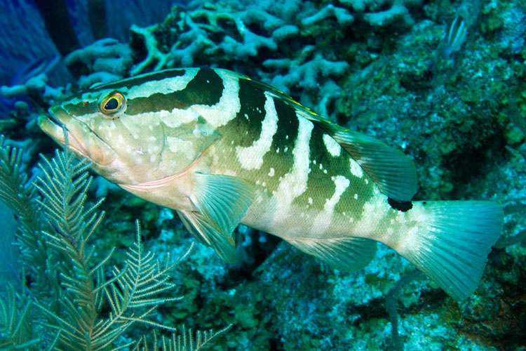 Picture of a Nassau grouper swimming.