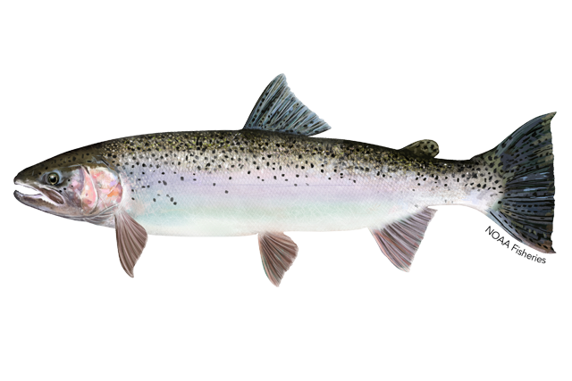 Steelhead trout illustration