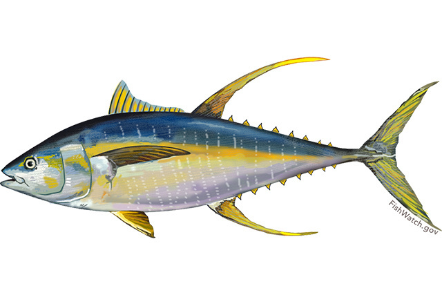 Illustration of Pacific yellowfin tuna.