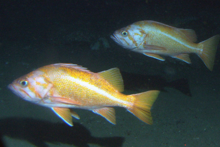 Two canary rockfish in pelagic region of rocky reef in NOAA's Cordell Bank National Marine Sanctuary.