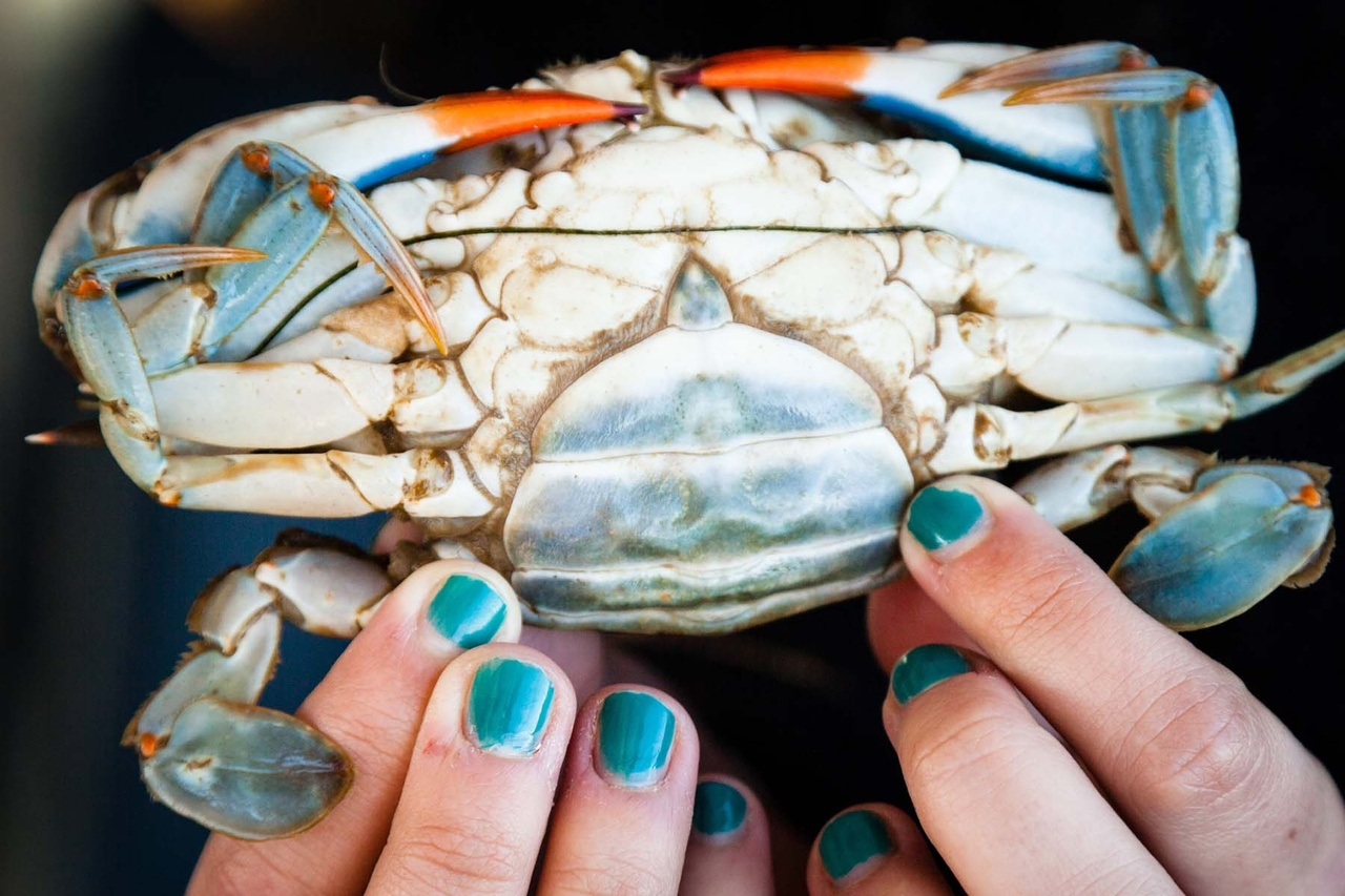 """Person holding female blue crab showing its """"apron."""""""
