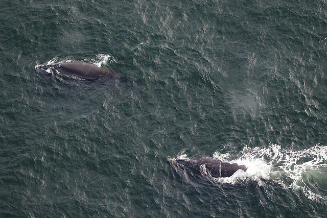 First right whales 2018_2019 season.jpg