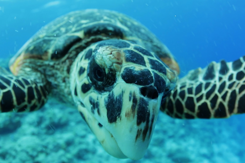 Hawksbill turtle swimming underwater in the Pacific Islands.