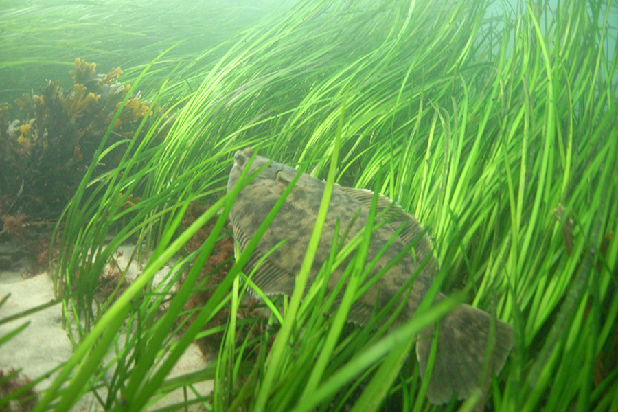 Winter flounder in eelgrass habitat