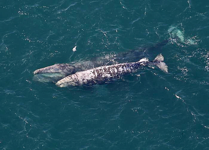 This photo, taken in 2016, is of a mother and calf gray whale.  The mother at top, with an open mouth.