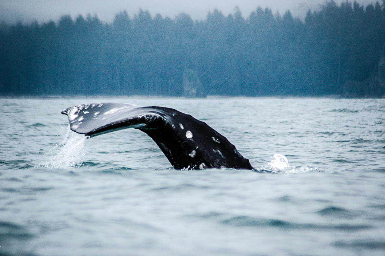 A Gray whale begins to dive.
