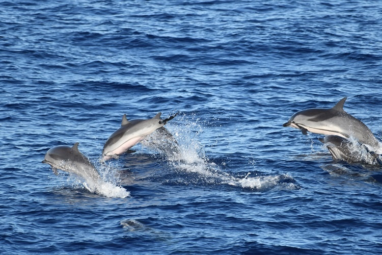 A group of dolphins jumping.