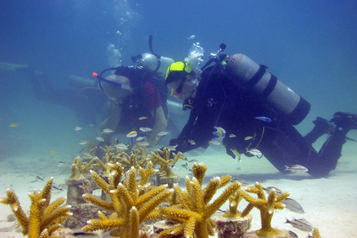 Coral restoration in the Florida Keys