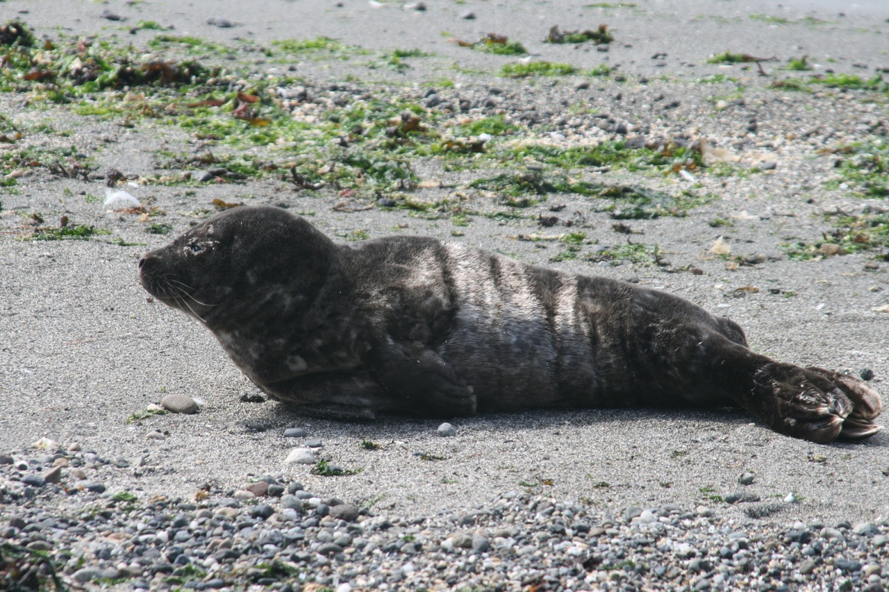 Harbor Seal.jpg