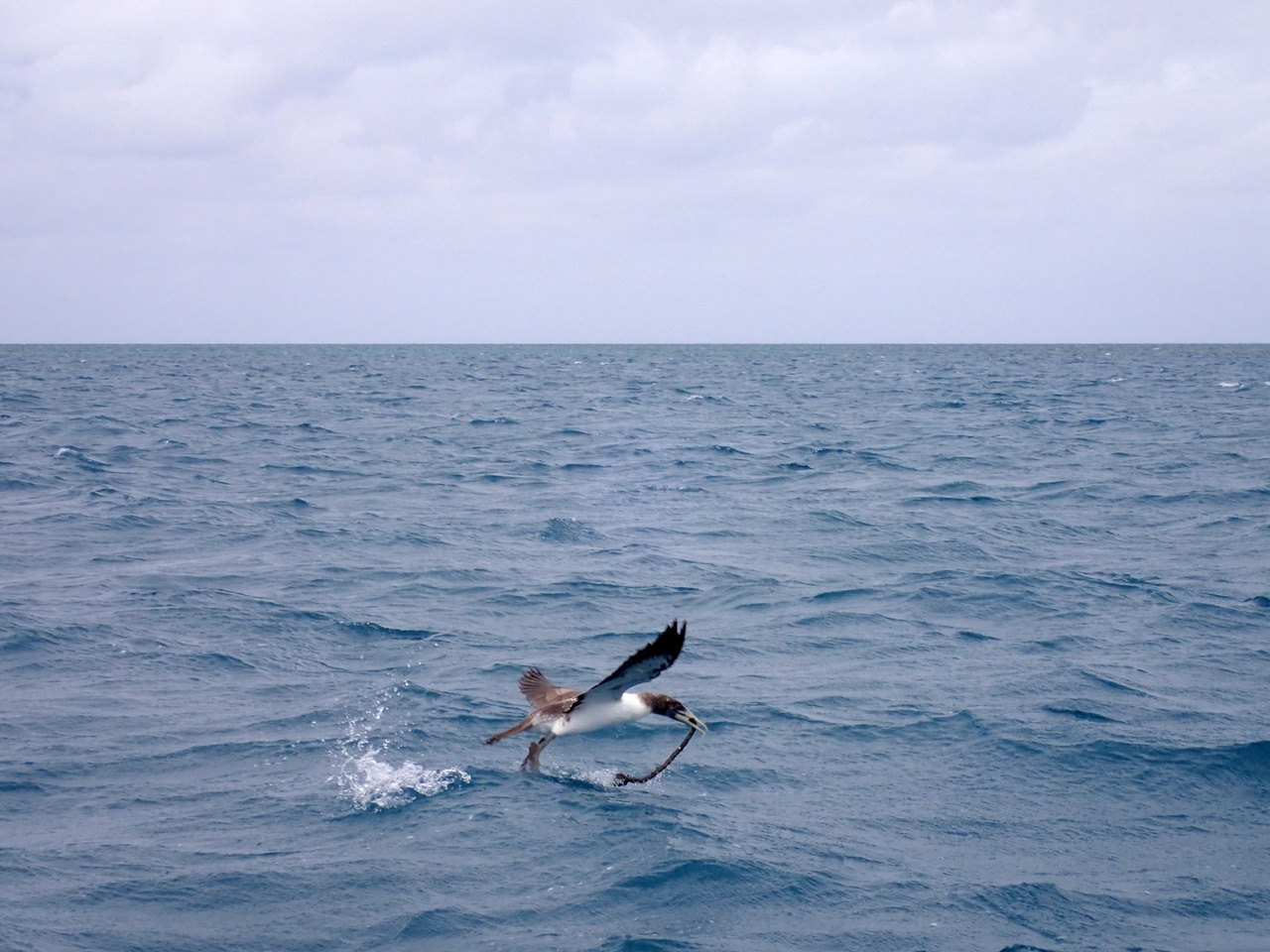 A brown booby plucks a piece of floating net from the water and attempts to fly off with it