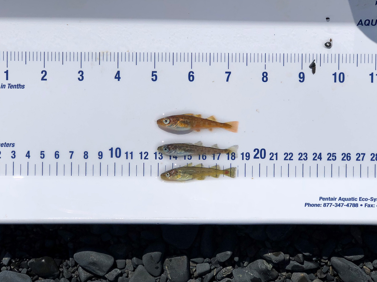 On the measuring board are three species of 'cod' (aka gadids) that often co-occur in the beach seine collections.