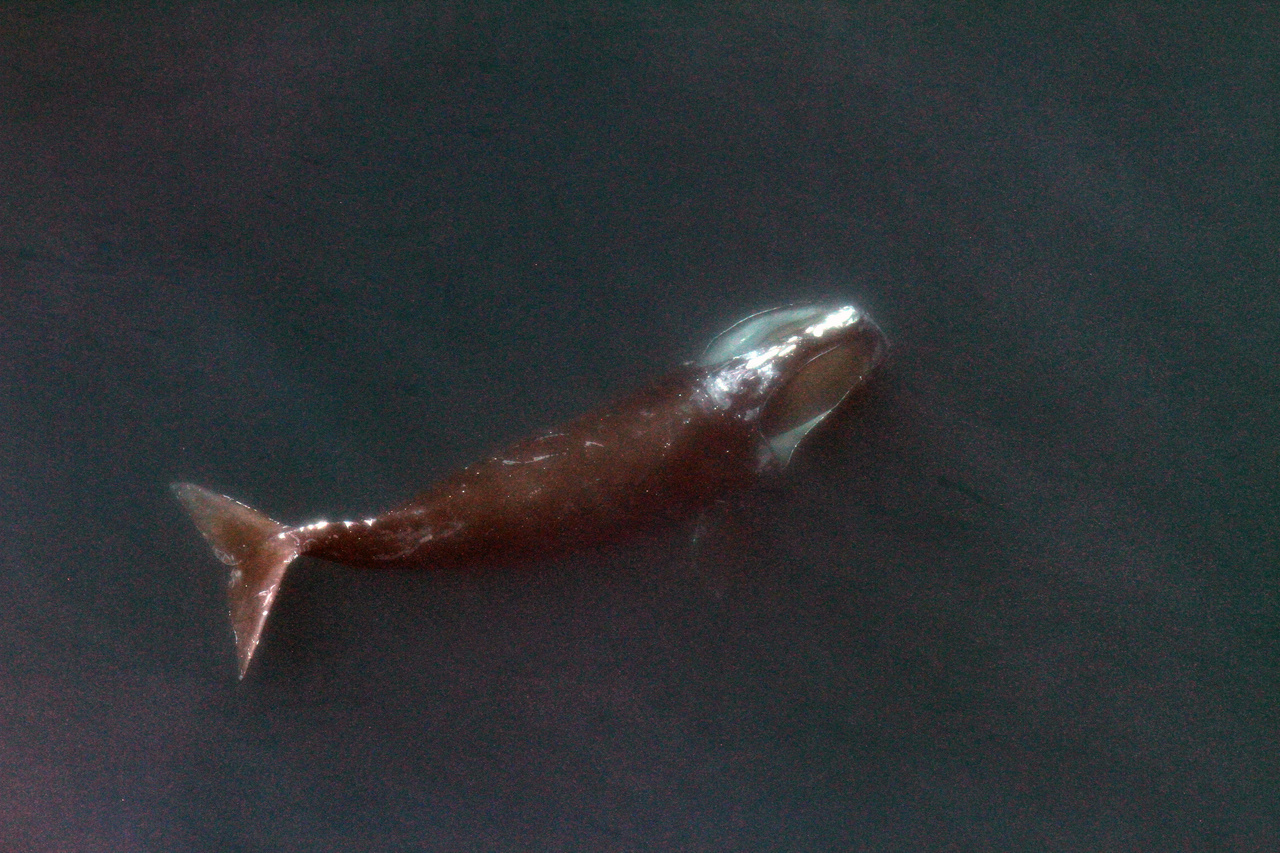 right-whale-feeding-3.jpg