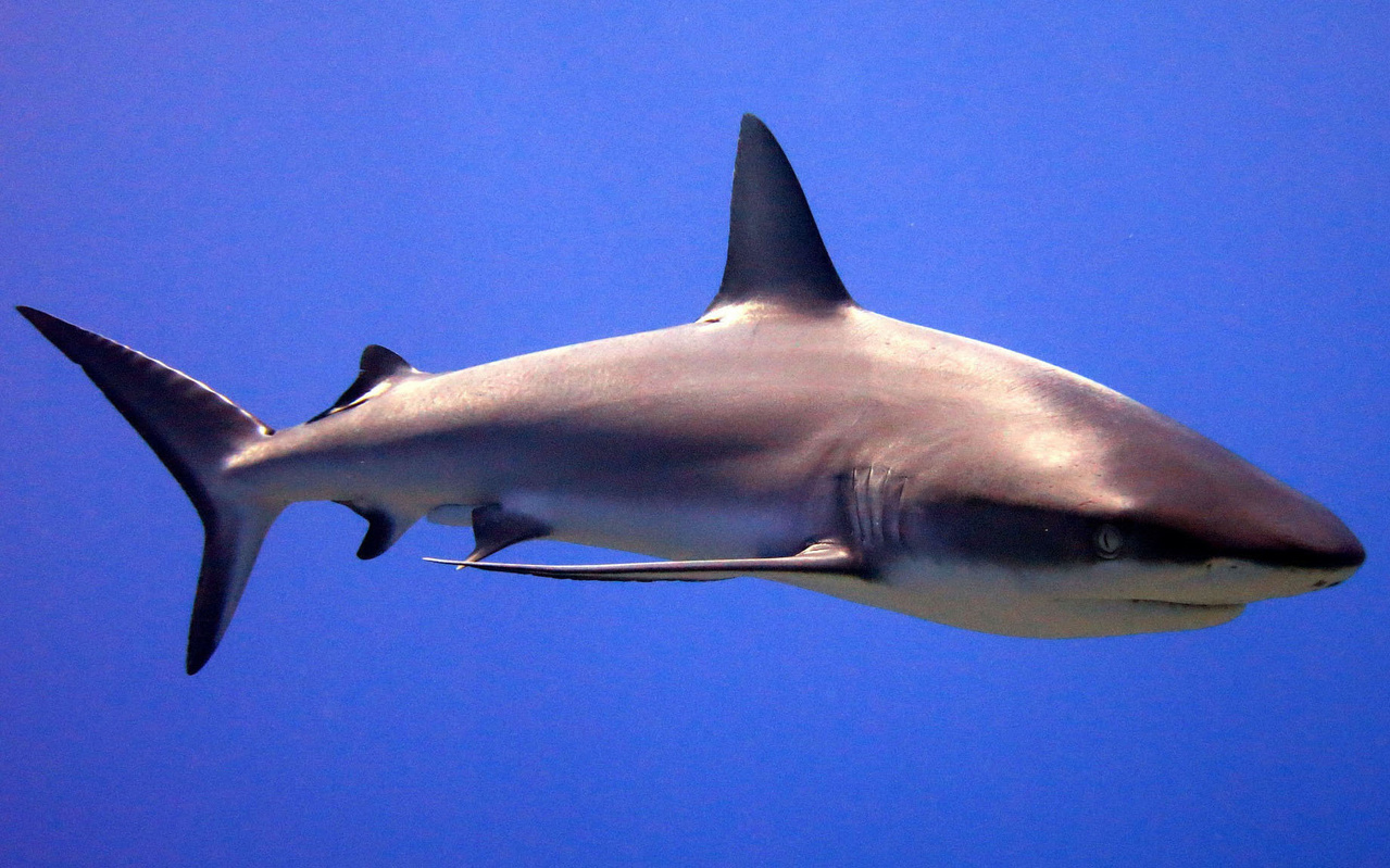 Grey reef shark swimming underwater.