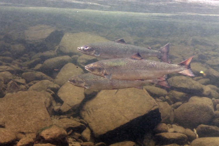Atlantic salmon swimming close to rocks.