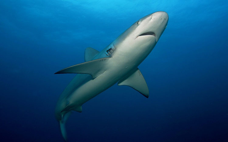 Black tip shark in Galapagos