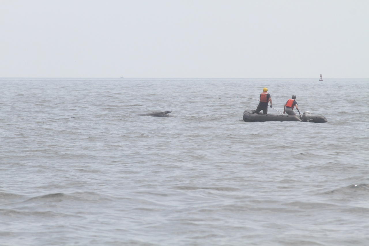 Responders cut the line off entangled juvenile humpback whale.