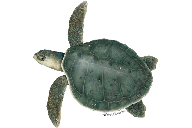 Illustration of Kemp's Ridley sea turtle