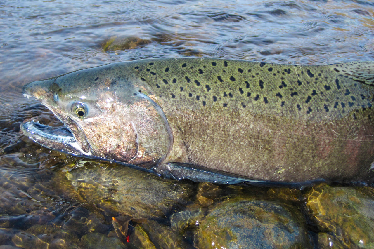spawning salmonid.jpg