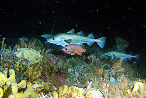 Pacific cod and northern rockfish over a mix of living substrate composed of sponge and coral.