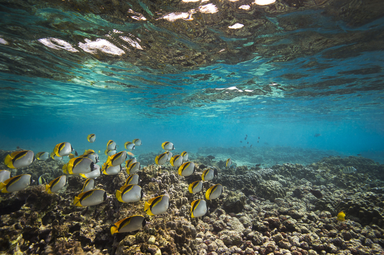 A school of lined butterflyfish swim above a shallow coral reef in the turquois water of Kona, Hawaii.