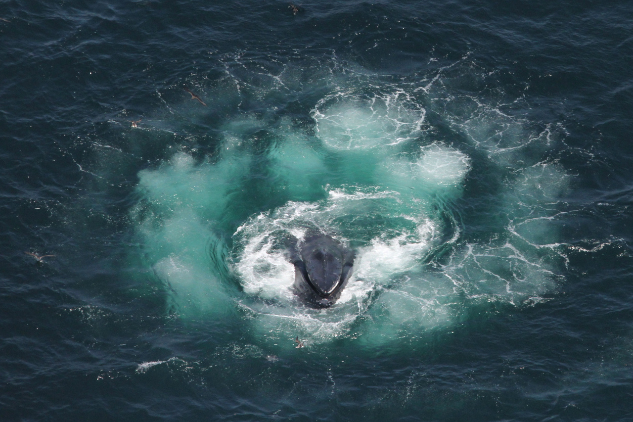 Humpback whale feeding at water's surface.