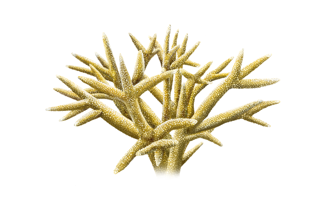 Staghorn coral illustration.