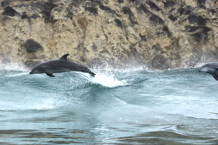 Picture of a common bottlenose dolphin jumping out of the water.