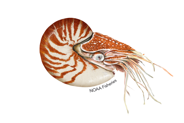 Chambered-nautilus illustration