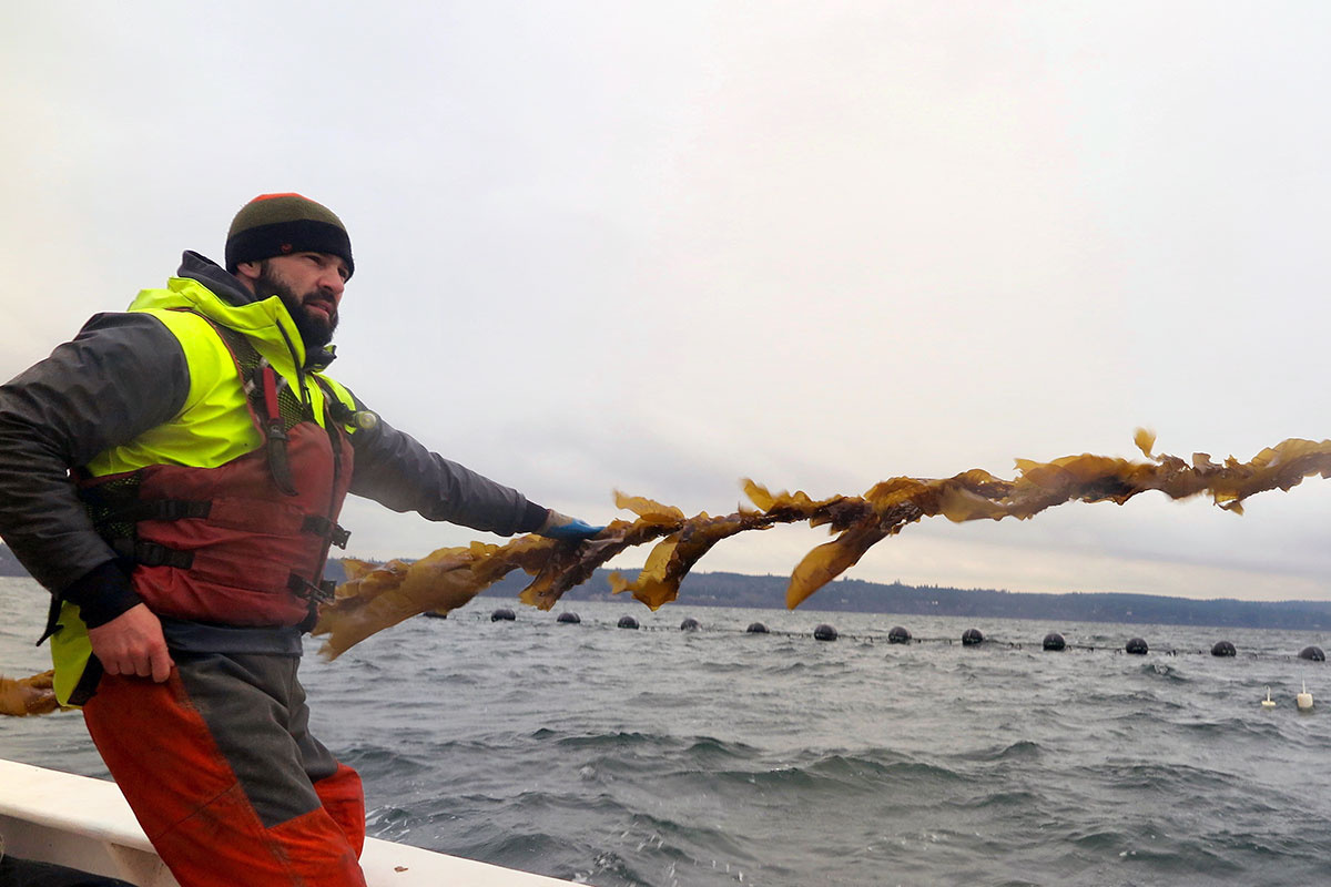 Man pulling in a line of cultured sugar kelp