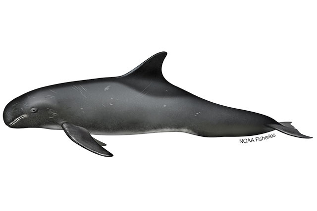 Illustration of Pygmy killer whale