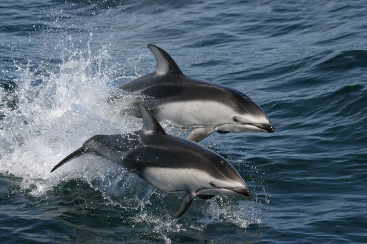 750x500-pacificwhitesideddolphins_swfsc.png