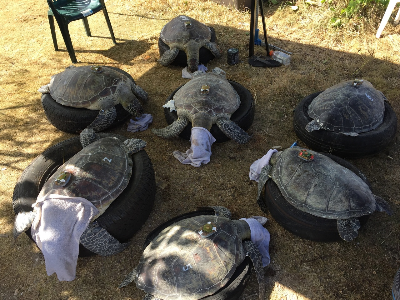 Seven tagged turtles.