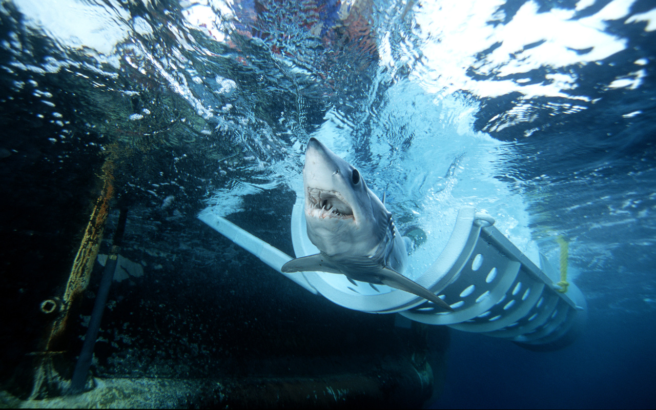 A shortfin mako shark is exiting a ship cradle below the surface of the water.