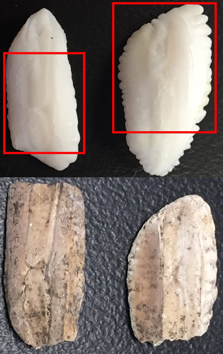 Four cod otoliths. The modern two are white and oval with ragged edges, The 17th century otoliths are light brown with ragged edges worn smooth