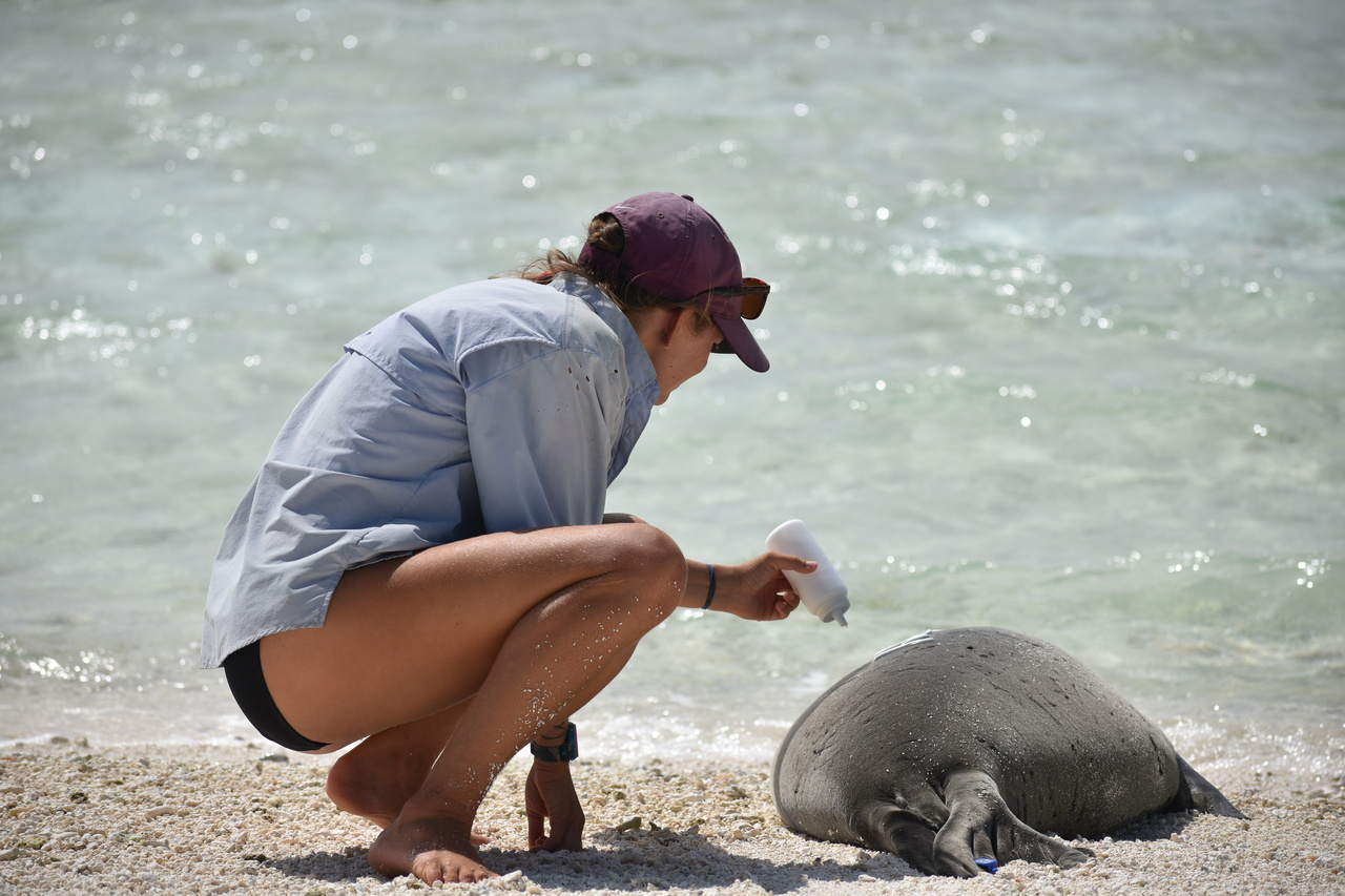 Field researcher tags a Hawaiian monk seal at Pearl and Hermes Atoll.