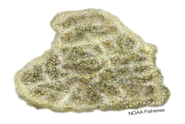 Illustration of Isopora craterformis coral
