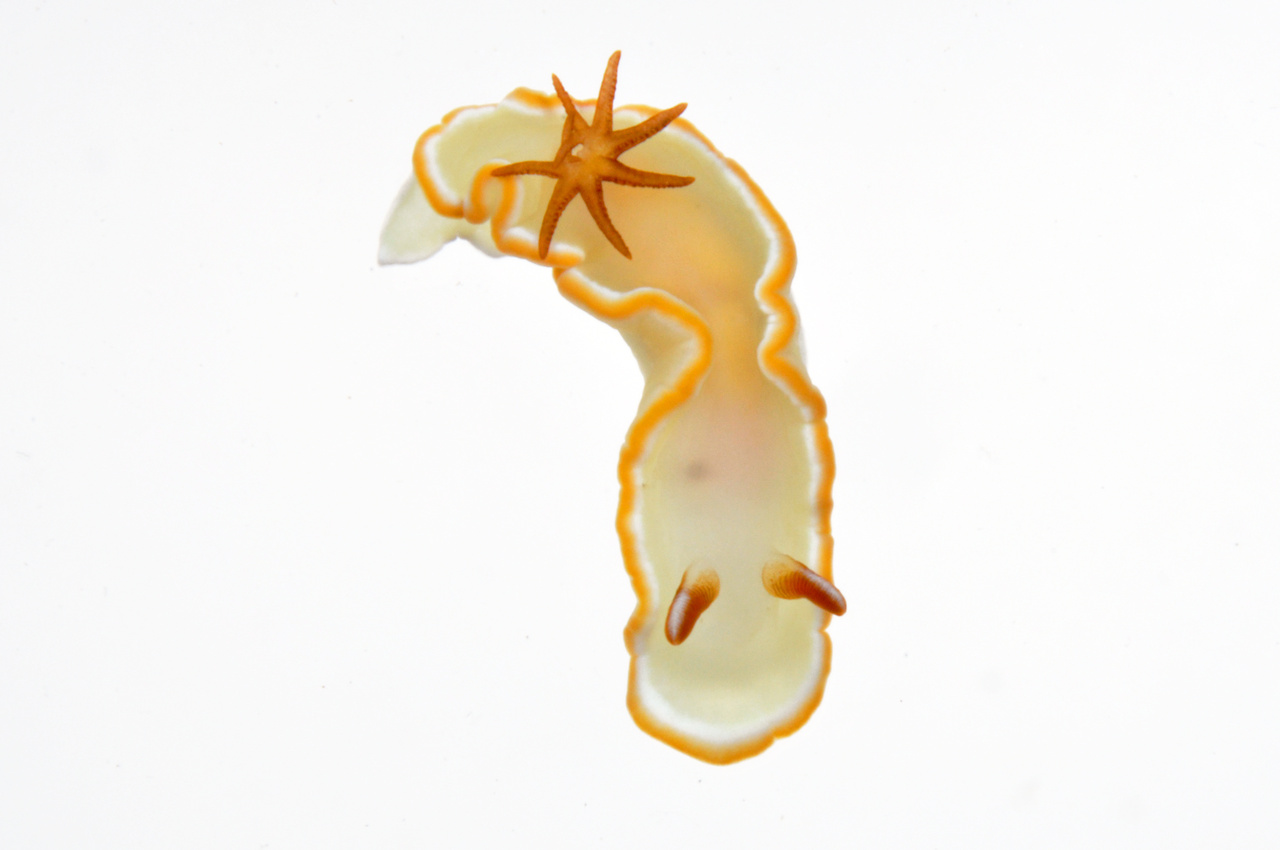 "This sea slug, or nudibranch, has a ""naked gill"" structure—a breathing apparatus outside of its body. Because they are so delicate, nudibranchs are brightly colored and sometimes toxic to deter predators. (Photo: NOAA Fisheries/Evan Barba)"