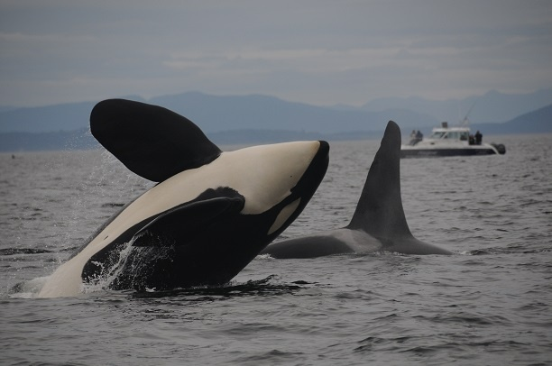 killer whale breaching out of the water