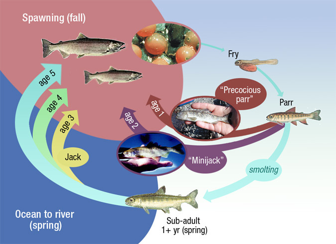 Diagram showing the life cycle of Spring Chinook salmon