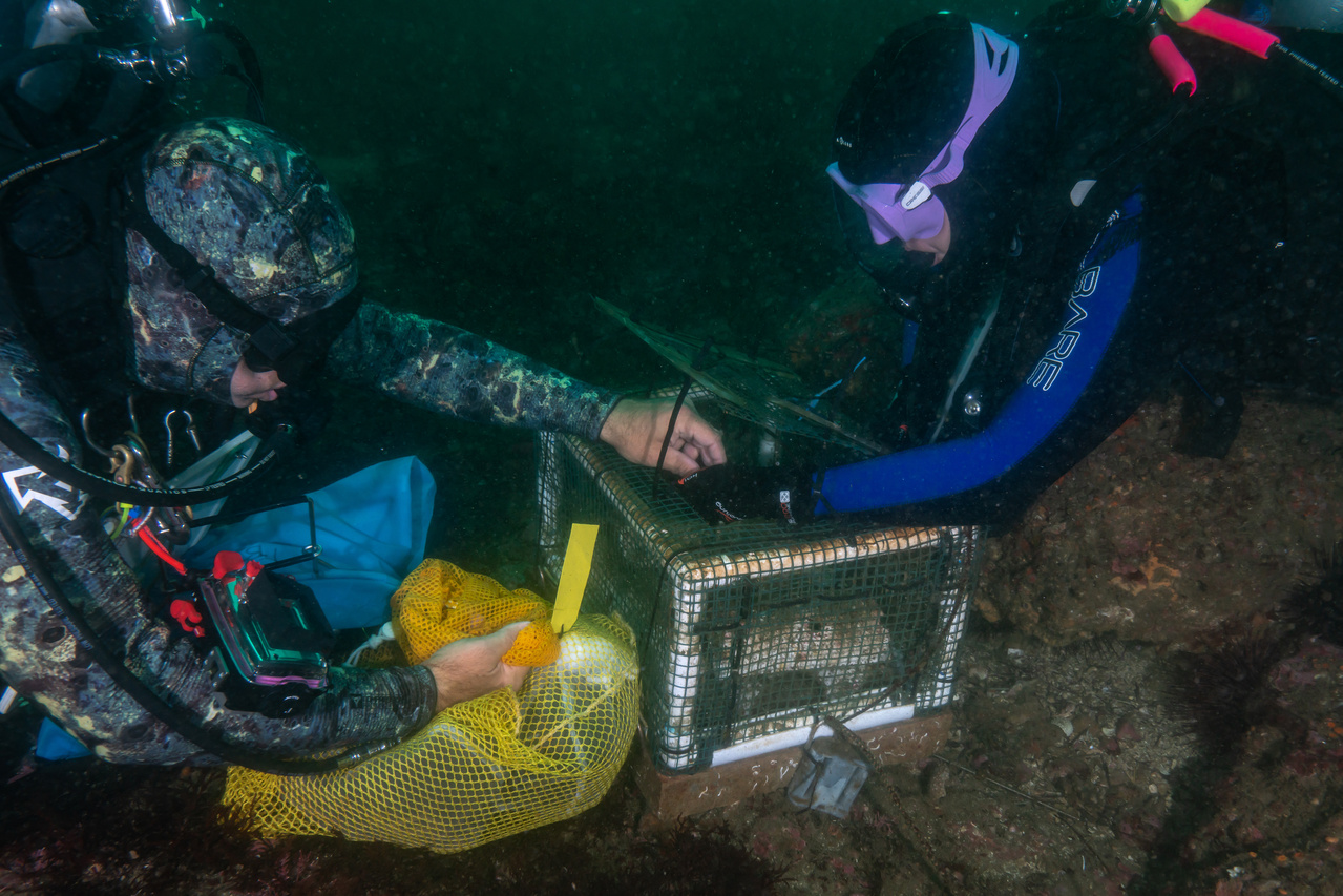 1_20191025_White_abalone_SAFE_Outplanting_Divers_AdamObaza_PMRG.jpg