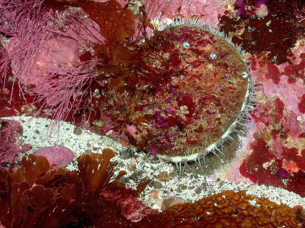 white_abalone photo david witting NOAA.jpg
