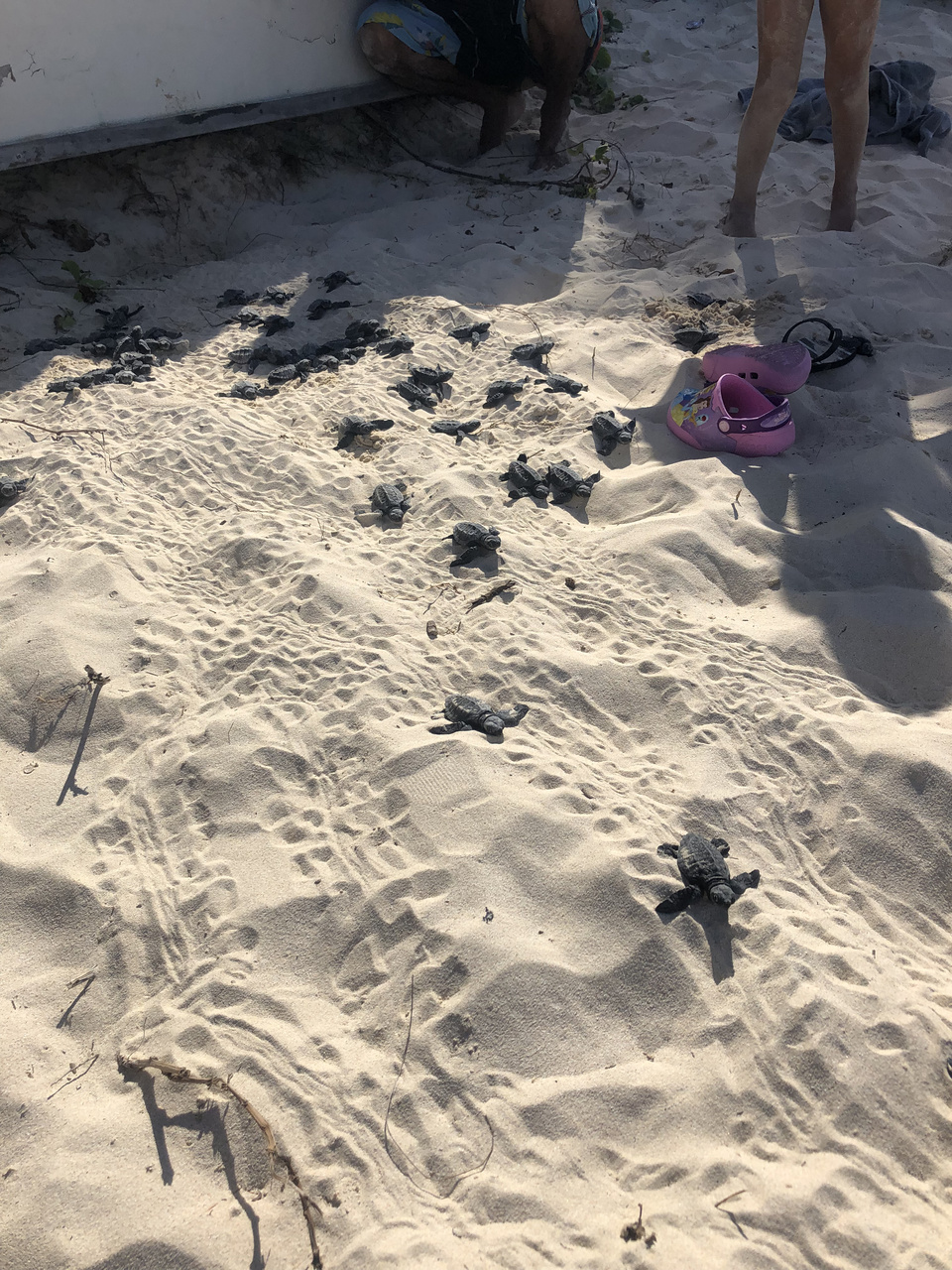 Approximately 30 olive ridley hatchlings crawling to the sea after found emerging from under a towel at Kailua Beach Park.