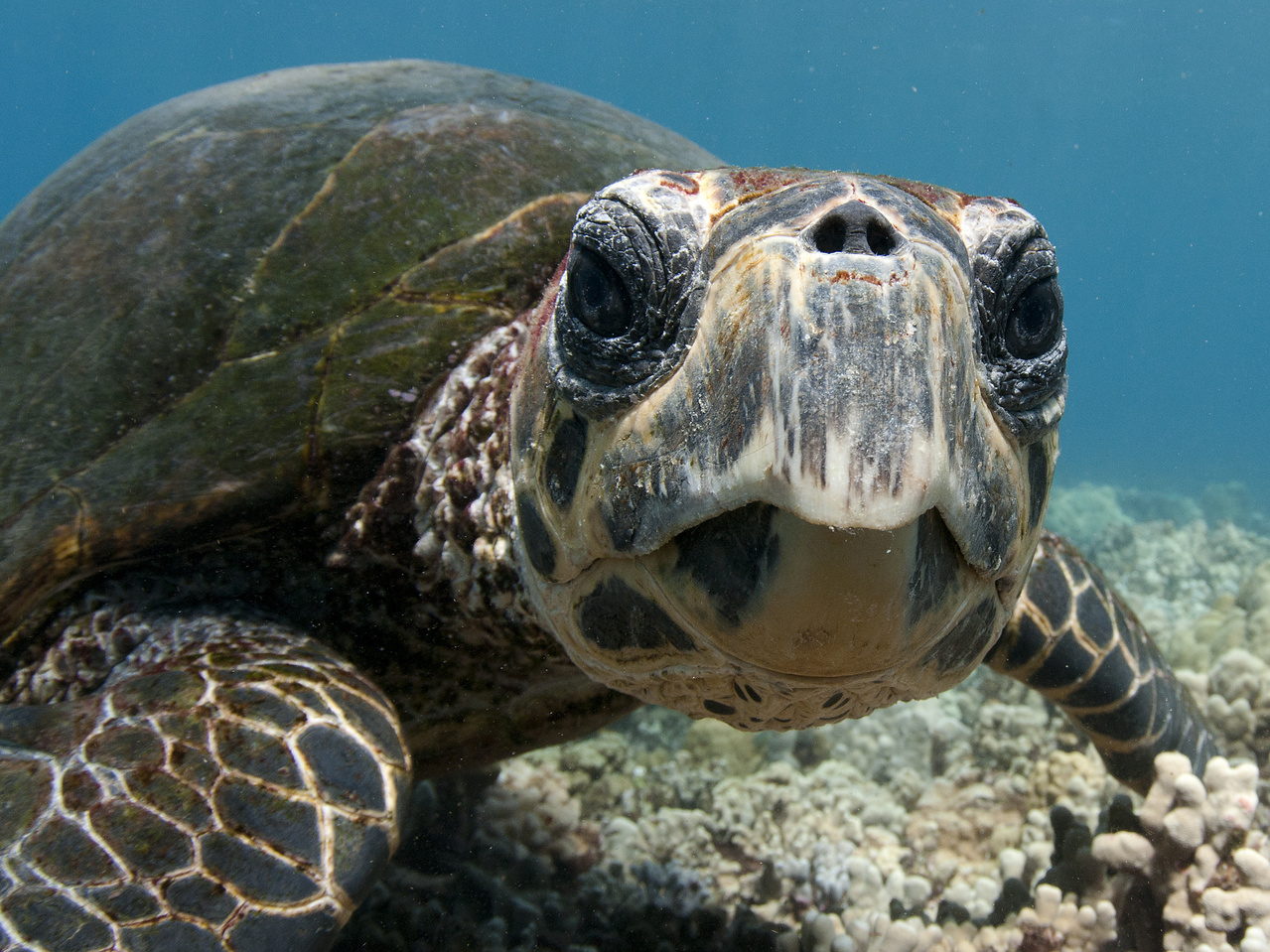 A close-up image of a Hawaiian hawksbill looking into the camera