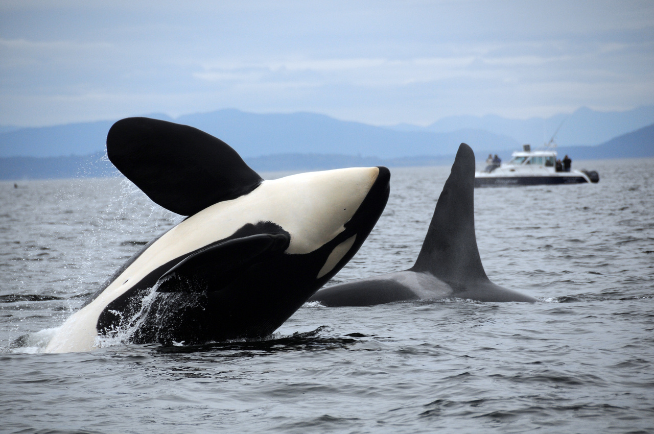 southern resident killer whale leaping in water nwfsc photo credit candace emmons