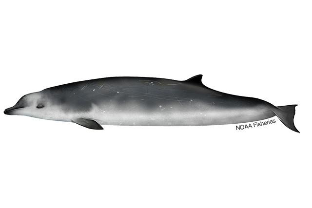 True's beaked whale illustration.